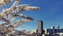 A view of the Sheffield City skyline, with cherry blossoms in the foreground.